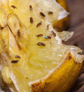50270130 - fruit fly on lemon