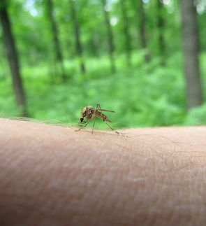 41429882 - mosquito sat on the arm and trying to suck blood.