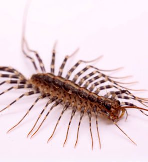 Scutigera smithii Newport (long-legged house centipede) on a white background.