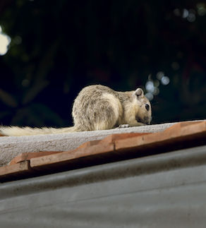 A Squirrel walking on the roof.