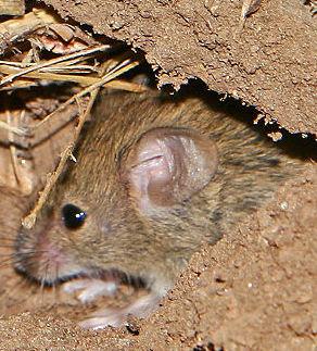 800px-Mouse_vermin02