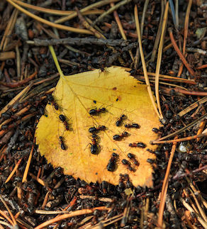 84973994 - many ants running on a yellow leaf in an anthill