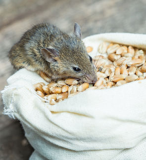 43176205 - the mouse nibbles grain of wheat out of the bag
