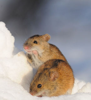Two Striped Field Mice (Apodemus agrarius) in sunny winter day in snow