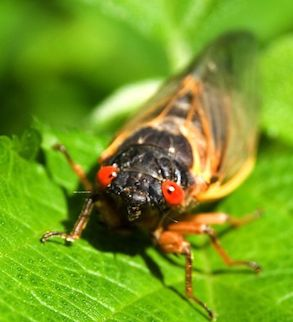 3209415 - red eyed seventeen year cicada