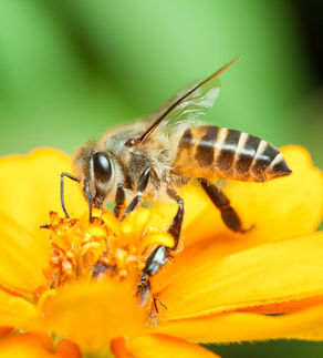 Macro of honey bee eating nectar on yellow flower