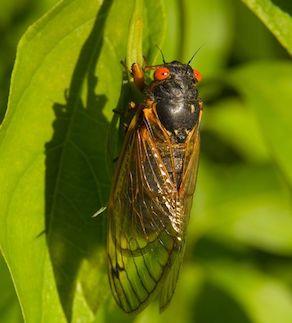 3146900 - red eyed seventeen year cicada sitting on a green leaf