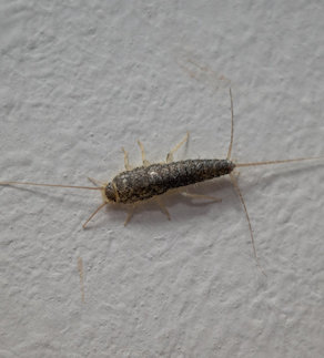 on a white wall crawls a brown paper fish insect