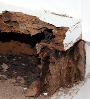 nest termite, background of nest termite, damaged wooden eaten by termite or white ant